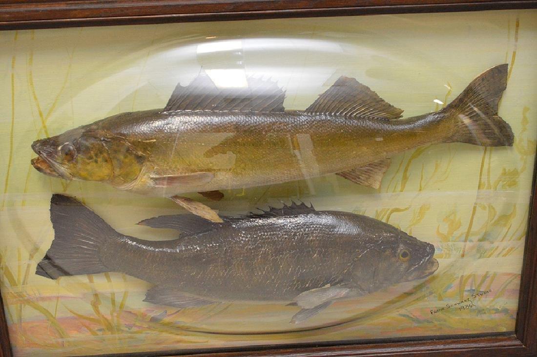 "Framed Fish Taxidermy ""Franck Schwartz Studio,1936, - 2"