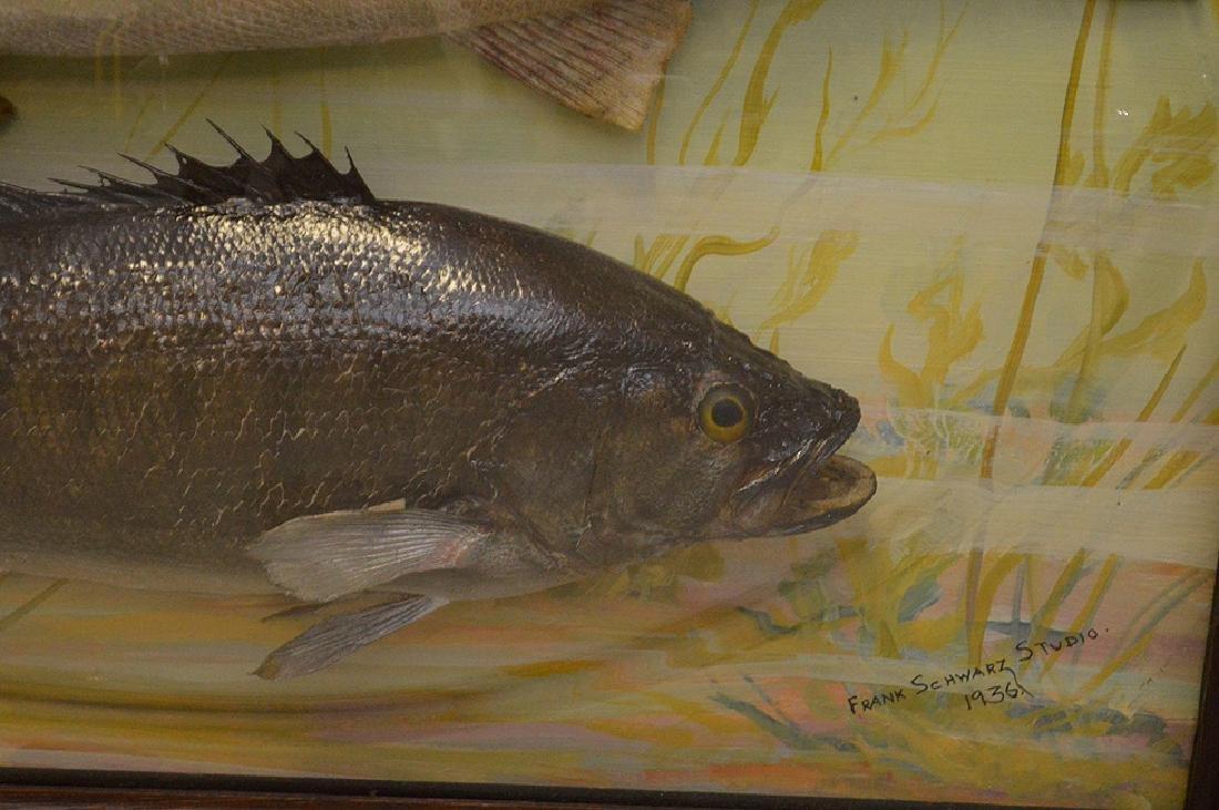 "Framed Fish Taxidermy ""Franck Schwartz Studio,1936, - 3"