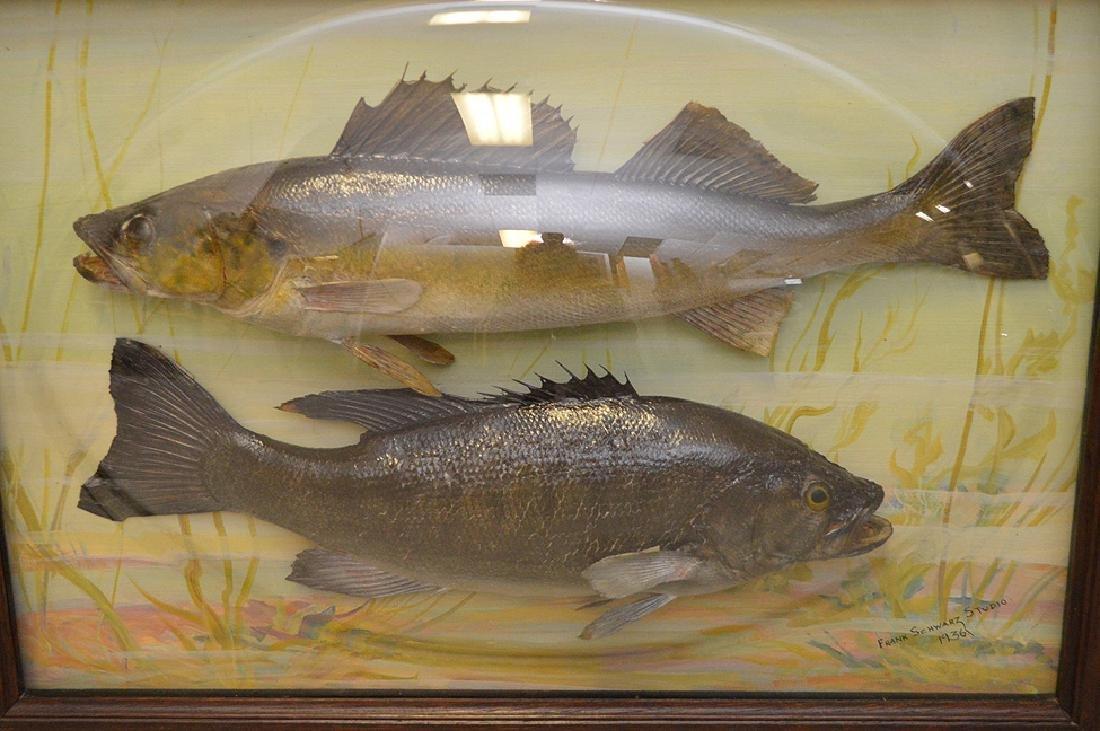 "Framed Fish Taxidermy ""Franck Schwartz Studio,1936, - 8"