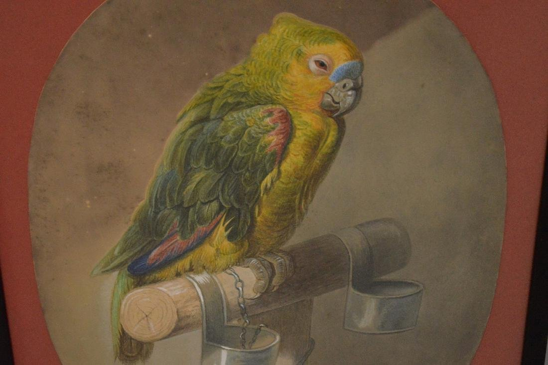Watercolor of Parrot, signed Pordoner 1870, 18 x 14 - 3