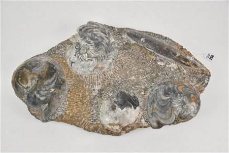 Large Ammonite Fossil Specimen - Mesozoic Era.
