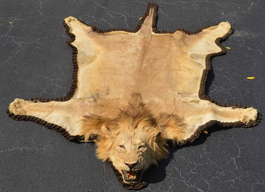 Superb The King Of The Jungle, Lion Skin Made Into Rug, ...