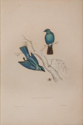 GOULD, John (1804-1881) & Nicholas Aylward VIGORS
