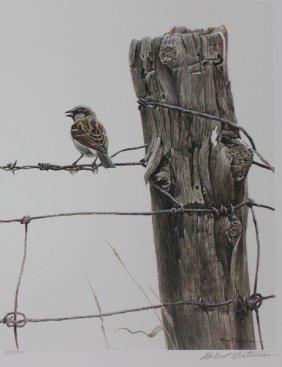 House Sparrow By Robert Bateman