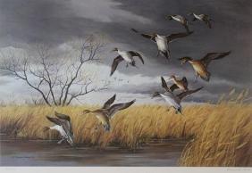 Easy Landing-Pintails by Maynard Reece