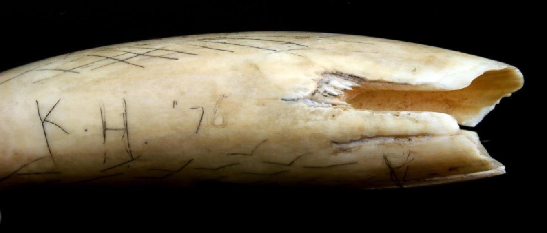 SCRIMSHAW SPERM WHALE TOOTH DATED 1876 - 3