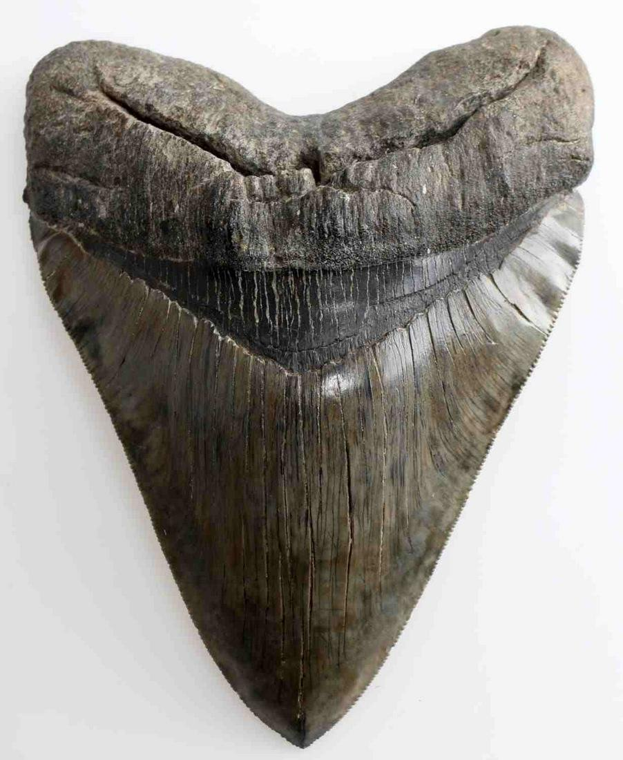 MASSIVE 6.5 INCH MEGALODON SHARK TOOTH FOSSIL