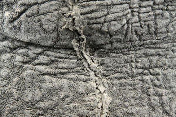 ELEPHANT'S FOOT STOOL WITH ZEBRA SKIN CUSHION - 3