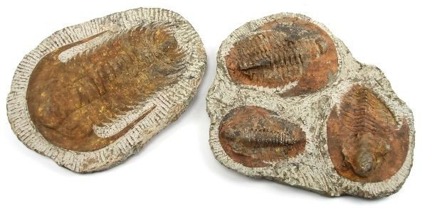 5005: LARGE TRILOBITE FOSSIL GROUP OF 2
