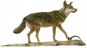 FULL SIZE TAXIDERMY COYOTE ON DRIFTWOOD
