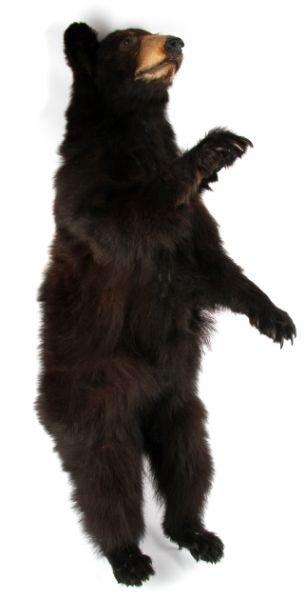 VINTAGE FULL SMALL TAXIDERMY MONTANA BLACK BEAR