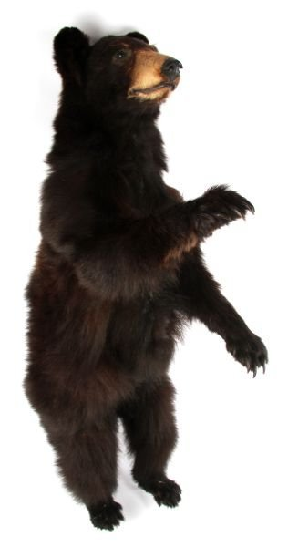 VINTAGE FULL SMALL TAXIDERMY MONTANA BLACK BEAR - 2
