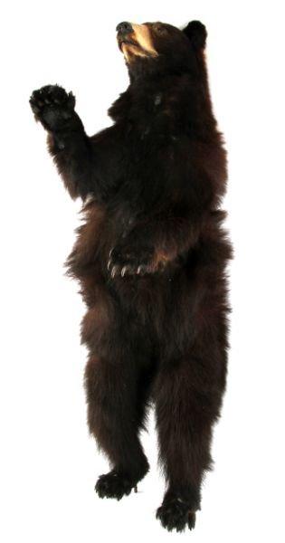 VINTAGE FULL SMALL TAXIDERMY MONTANA BLACK BEAR - 3