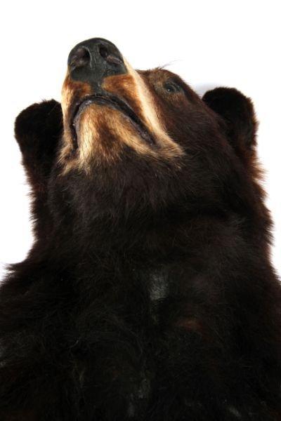 VINTAGE FULL SMALL TAXIDERMY MONTANA BLACK BEAR - 5