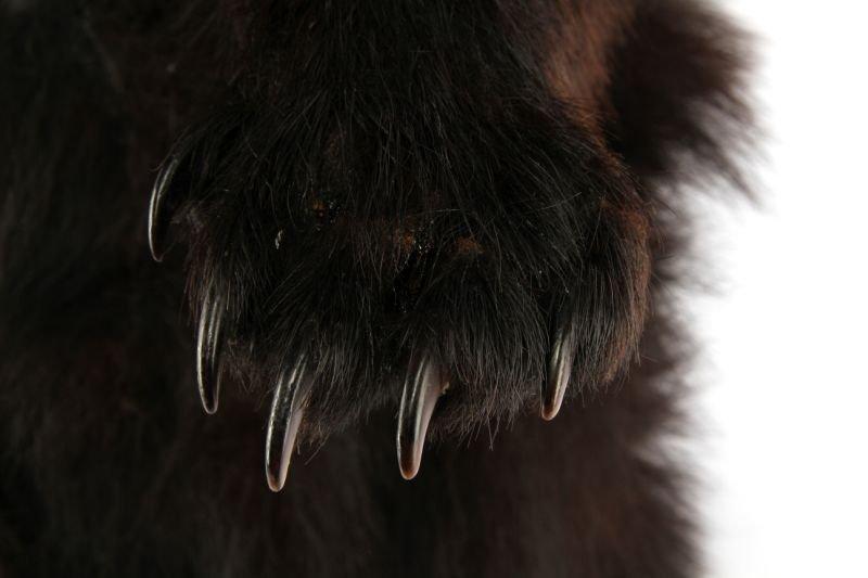 VINTAGE FULL SMALL TAXIDERMY MONTANA BLACK BEAR - 6