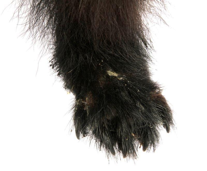 VINTAGE FULL SMALL TAXIDERMY MONTANA BLACK BEAR - 7