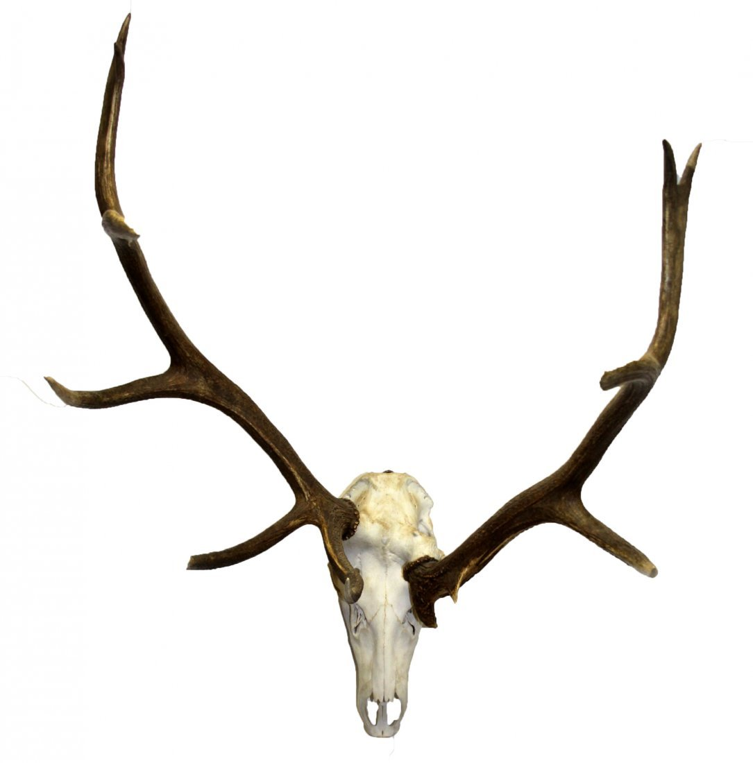 12 POINT AMERICAN ELK MOUNTED AFRICAN STYLE