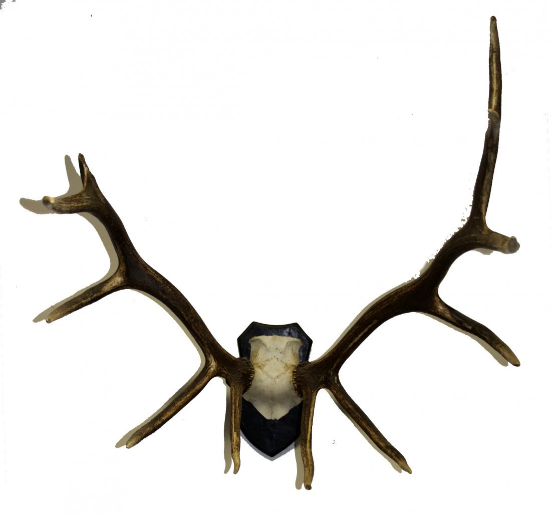 11 POINT AMERICAN ELK MOUNTED AFRICAN STYLE
