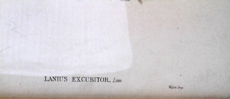J GOULD & H.C. RICHTER LANIUS EXCUBITOR PRINT - 3