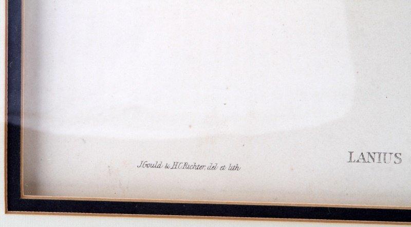 J GOULD & H.C. RICHTER LANIUS EXCUBITOR PRINT - 4