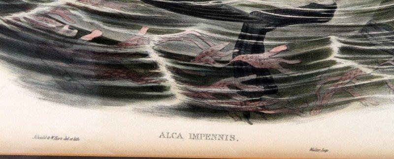 ALCA IMPENNIS J GOULD & H.C. RICHTER HAND COLORED - 3