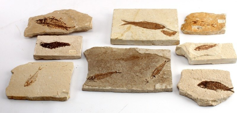 8 GREEN RIVER FORMATION FISH FOSSIL LOT
