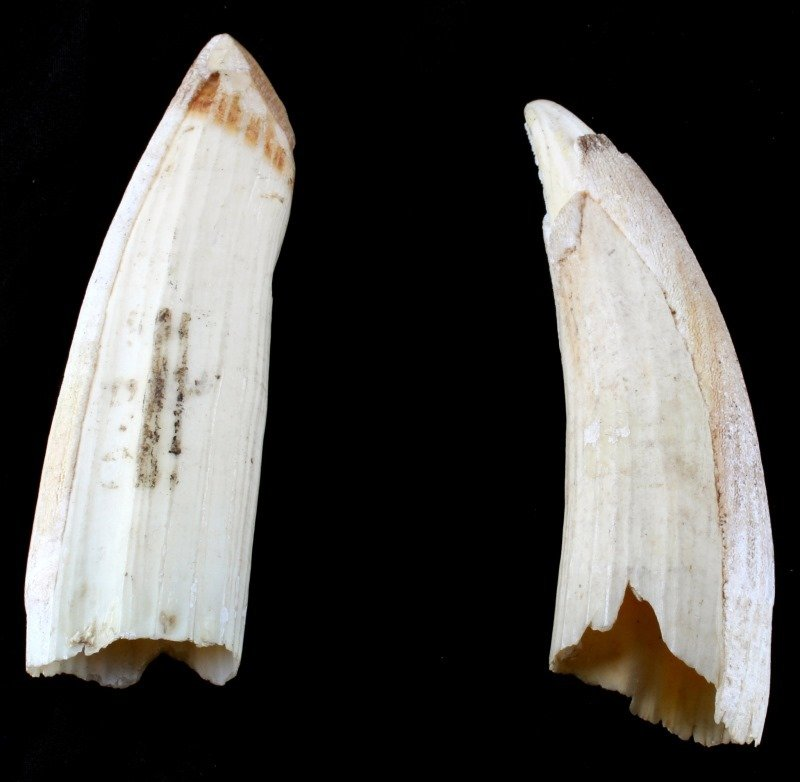 ANTIQUE HIPPO IVORY TOOTH LOT OF 2