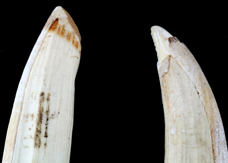 ANTIQUE HIPPO IVORY TOOTH LOT OF 2 - 2