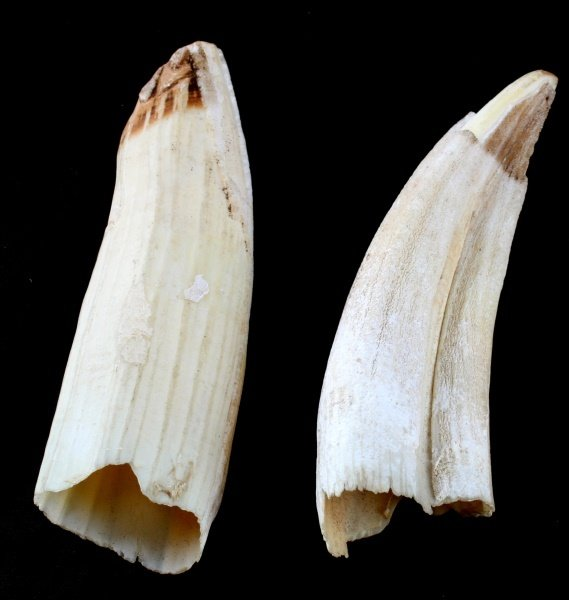 ANTIQUE HIPPO IVORY TOOTH LOT OF 2 - 3