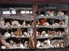 141A Antique Sea Shell Collection including literally