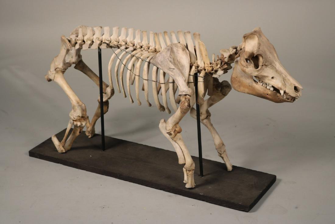 Standing Pig Skeleton Sculpture