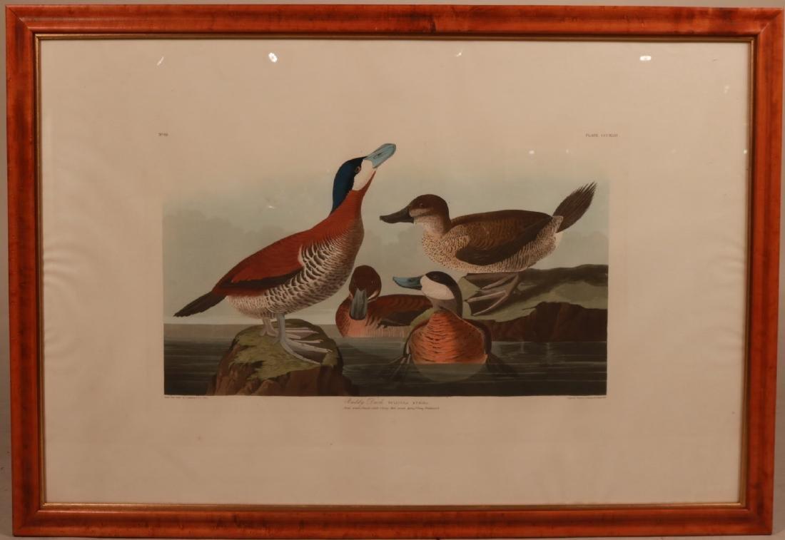 "Lithograph, ""Ruddy Duck,"" J.J. Audubon"
