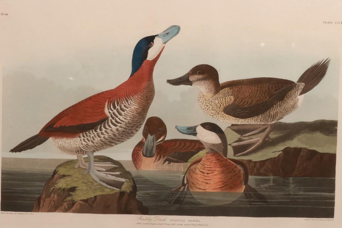 "Lithograph, ""Ruddy Duck,"" J.J. Audubon - 2"