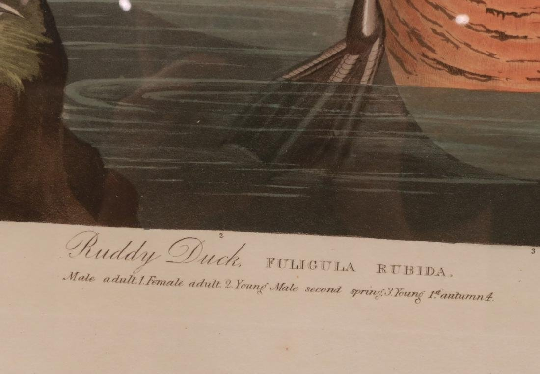 "Lithograph, ""Ruddy Duck,"" J.J. Audubon - 3"