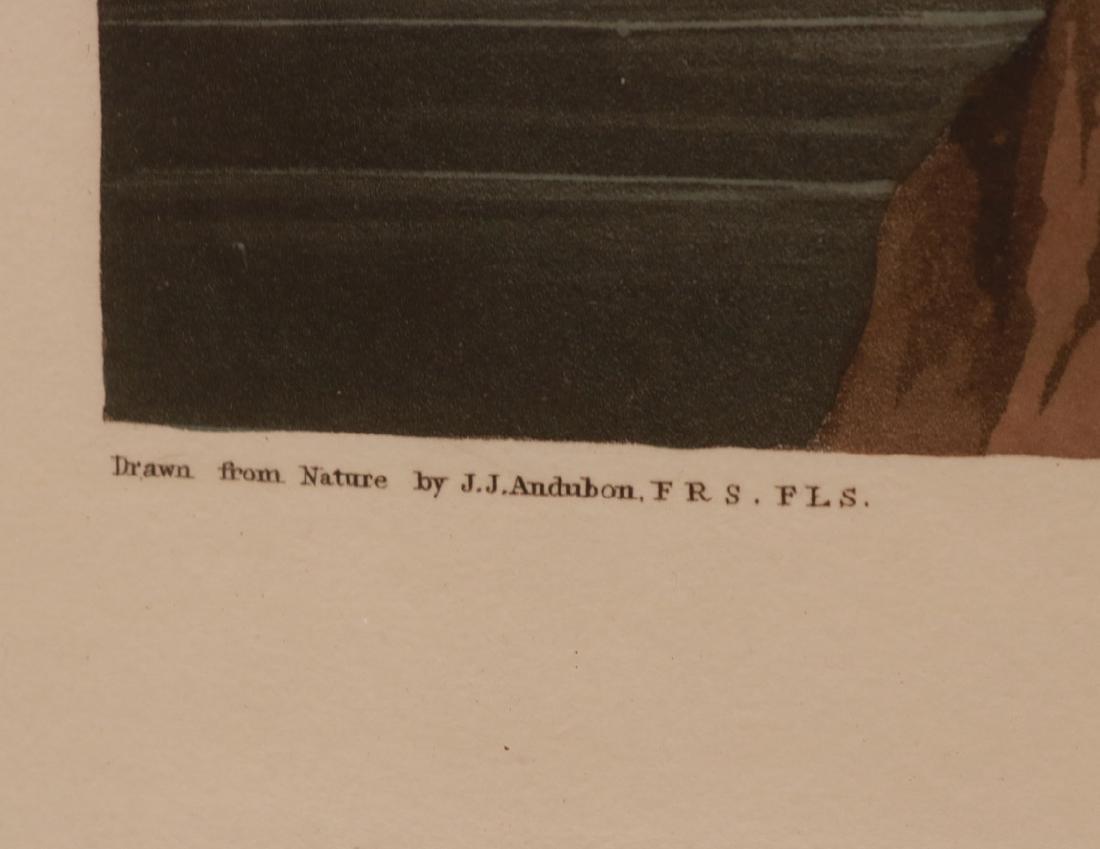 "Lithograph, ""Ruddy Duck,"" J.J. Audubon - 4"