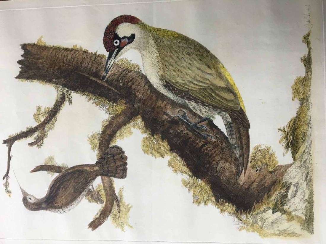 "COLOR PRINT, ""THE GREEN WOODPECKER MALE"""