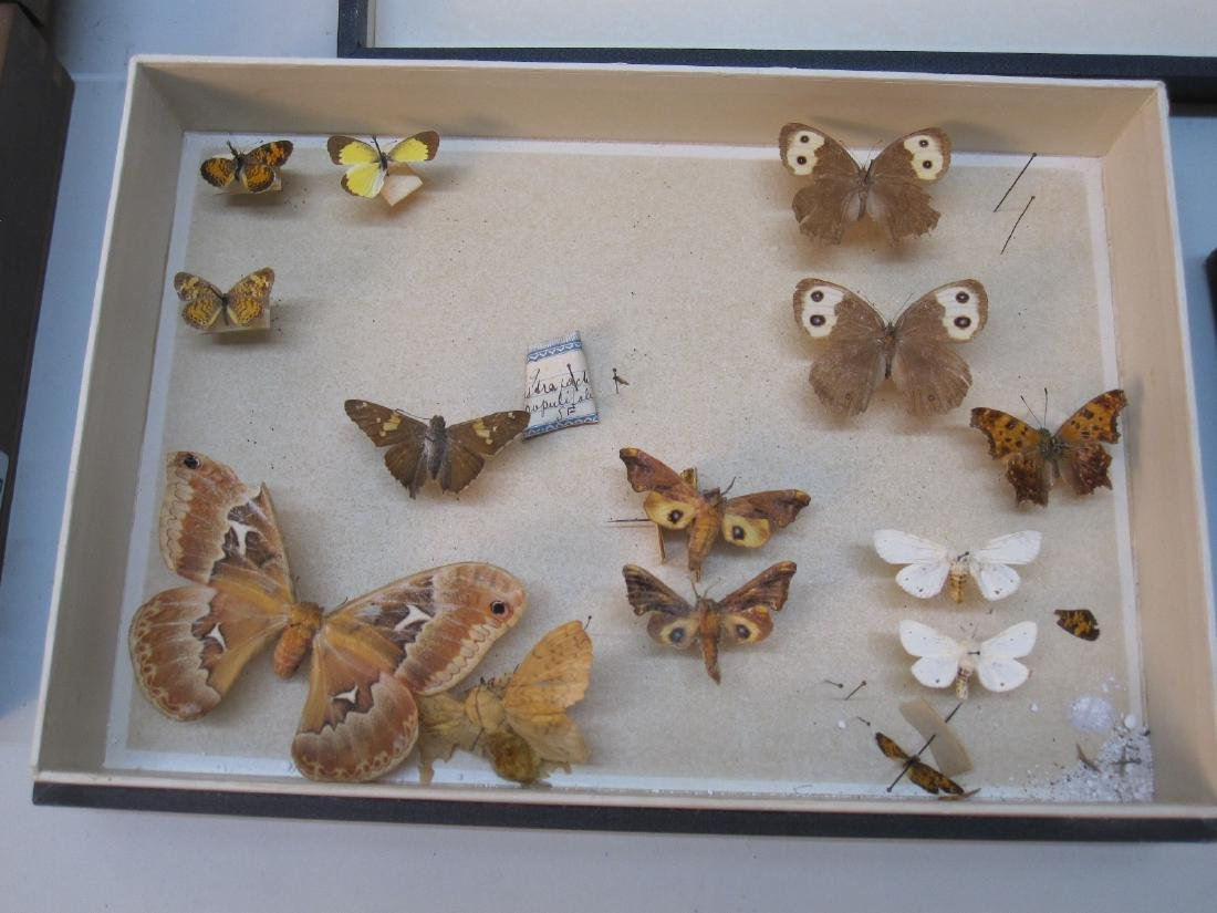 GROUP OF ASSORTED BUTTERFLY SPECIMENS