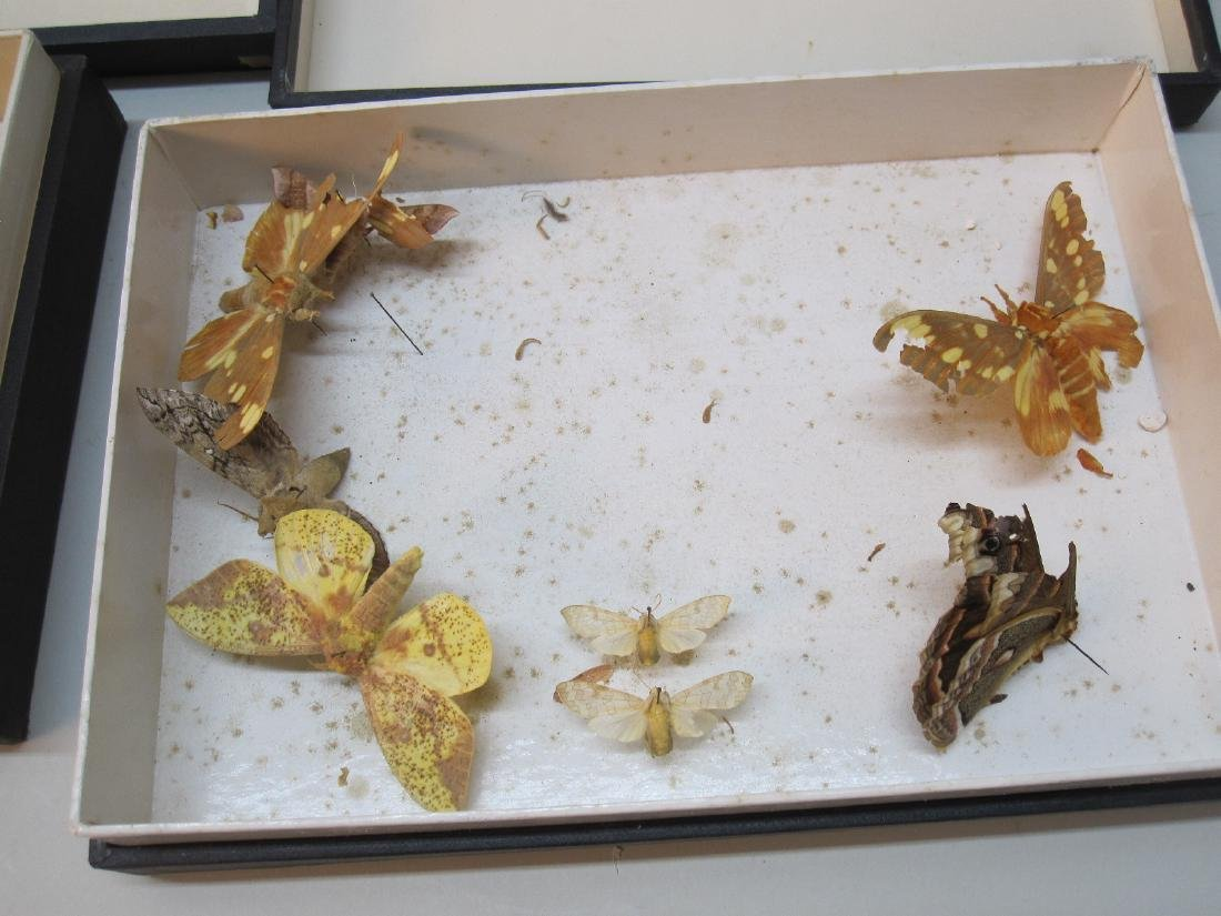 GROUP OF ASSORTED BUTTERFLY SPECIMENS - 3