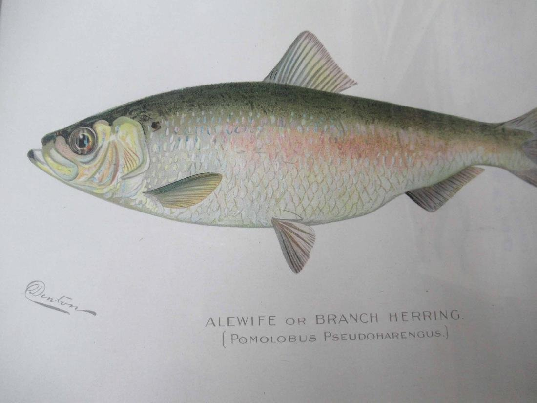 Denton Brown Trout Colored Print - 3