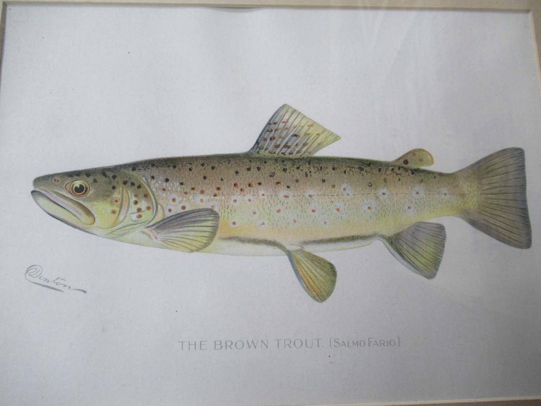 Denton Brown Trout Colored Print - 4