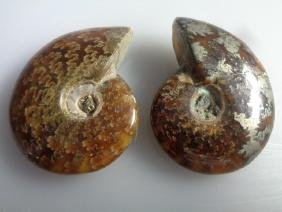 Natural Ammonite Fossil From Madagascar