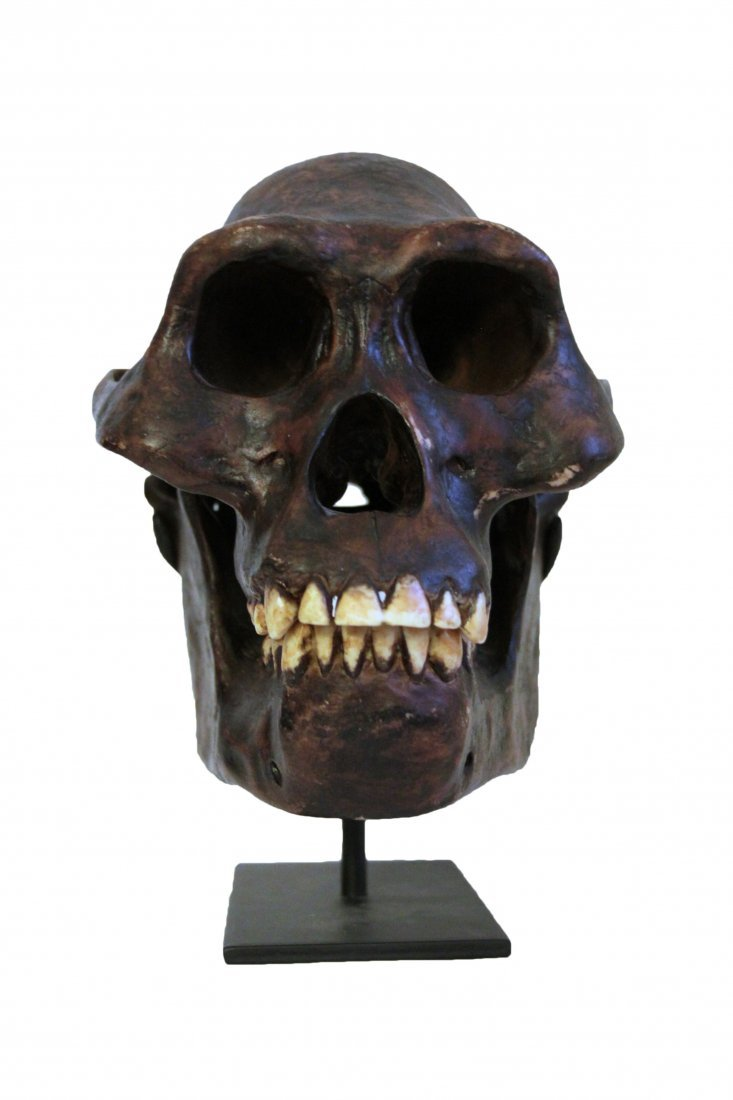 Lucy Skull Replica Early Human Skull on Metal Stand