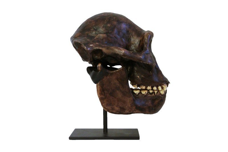 Lucy Skull Replica Early Human Skull on Metal Stand - 2