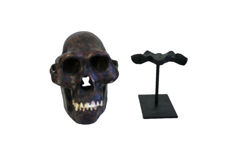 Lucy Skull Replica Early Human Skull on Metal Stand - 3