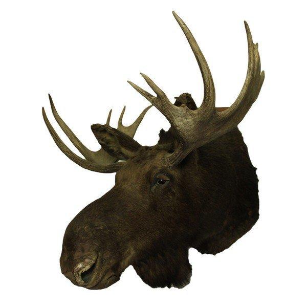 Taxidermy Moose