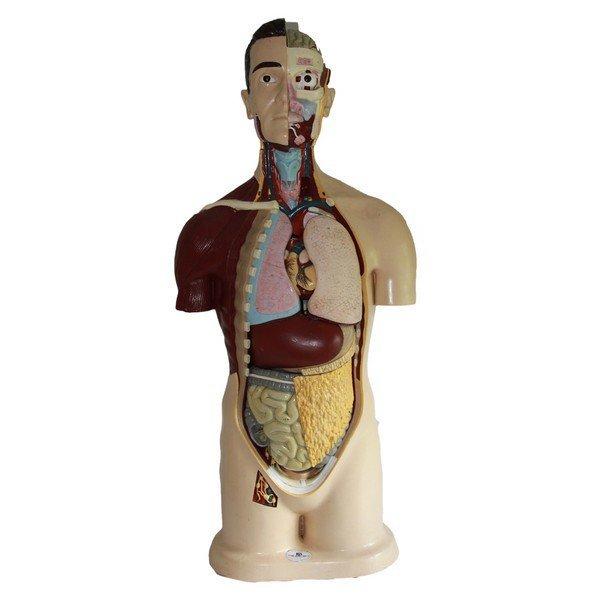 Vintage Male Anatomical Model - 2