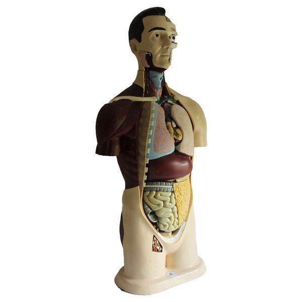 Vintage Male Anatomical Model - 4