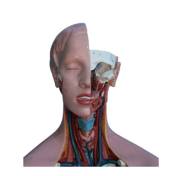Anatomical female model - 2