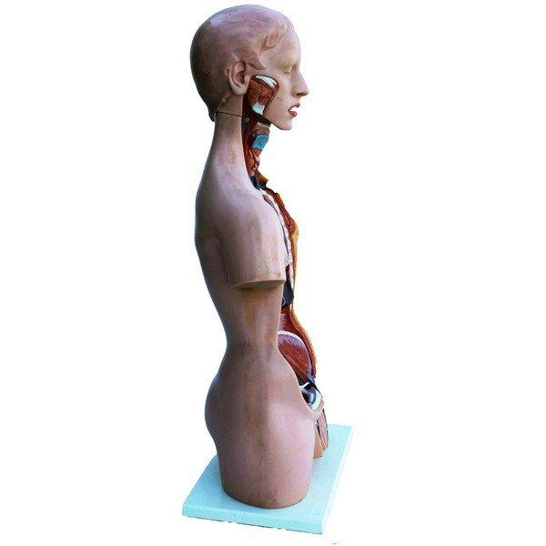 Anatomical female model - 4