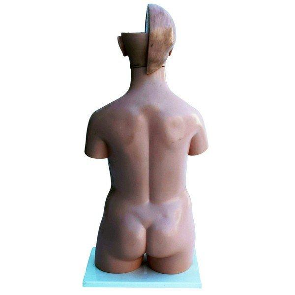 Anatomical female model - 6